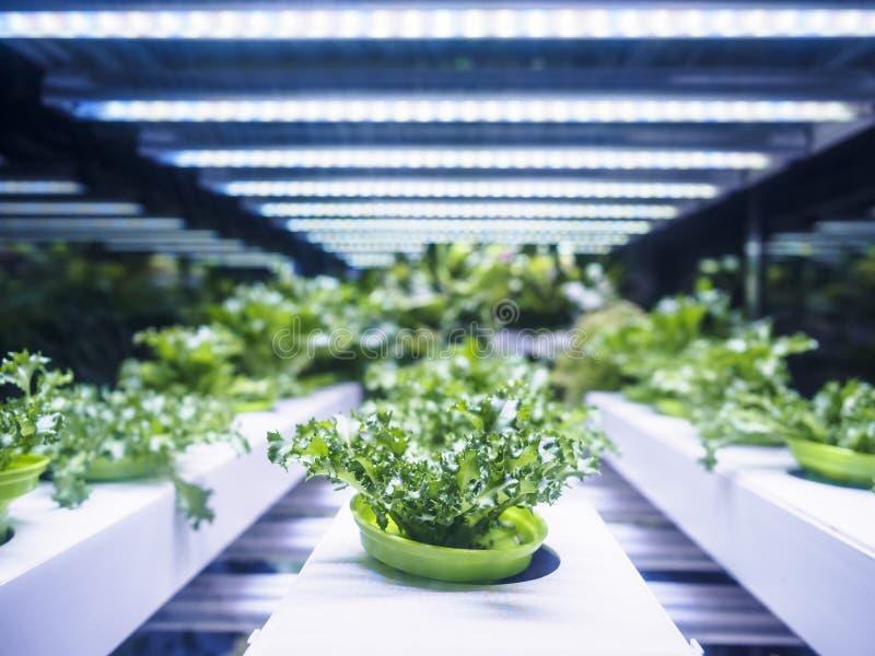 La fila de la planta de invernadero crece con agricultura interior ligera de la granja del LED imagen de archivo libre de regalías