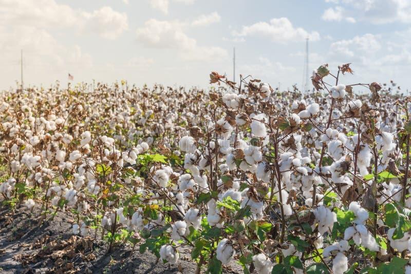 La fila del algodón coloca listo para cosechar en Tejas del sur, los E.E.U.U. imagenes de archivo