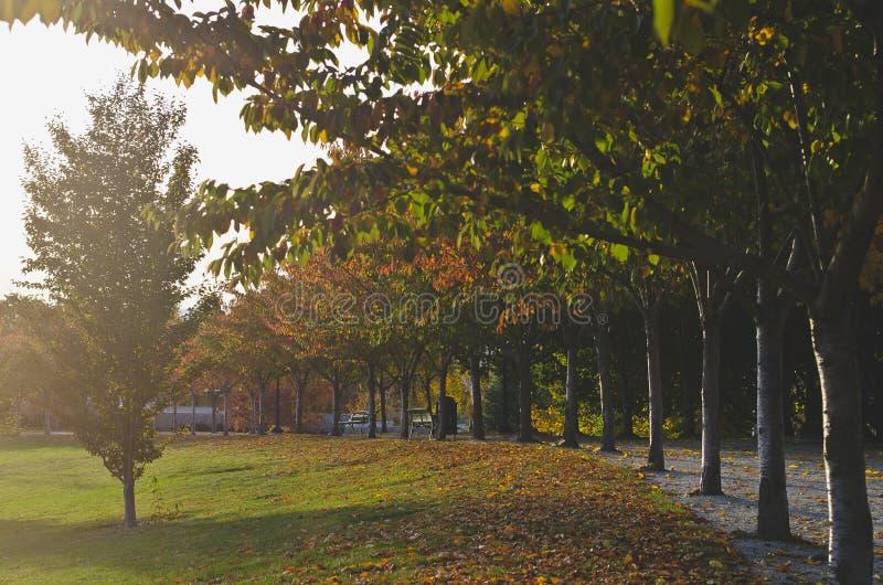 La fila lunga degli alberi nel sole di sera di caduta immagine stock libera da diritti