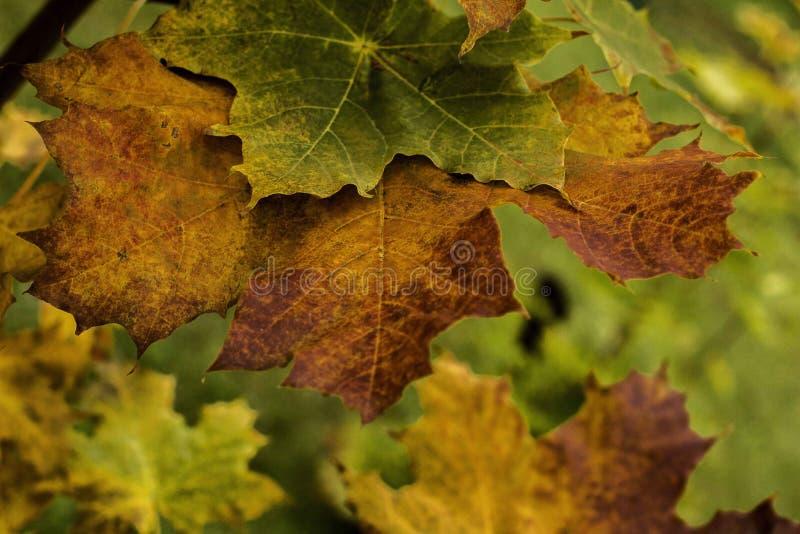 la filiale di autunno lascia l'acero fotografie stock libere da diritti