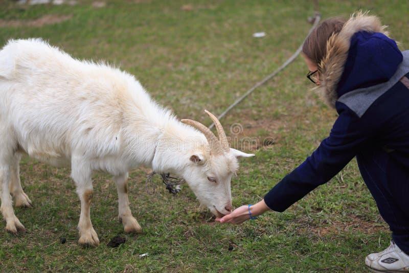 La fille alimente une chèvre à la cour images stock