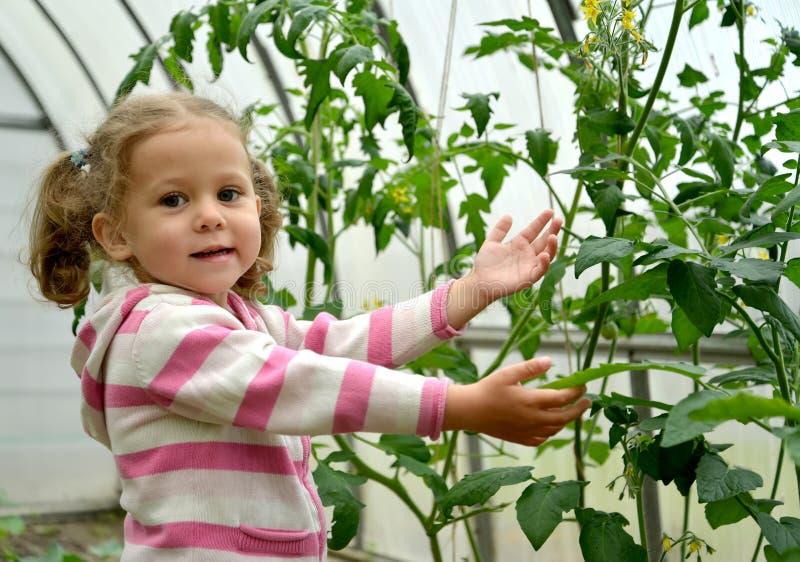 La fille de trois ans montre des usines des tomates dans le greenhou photos libres de droits