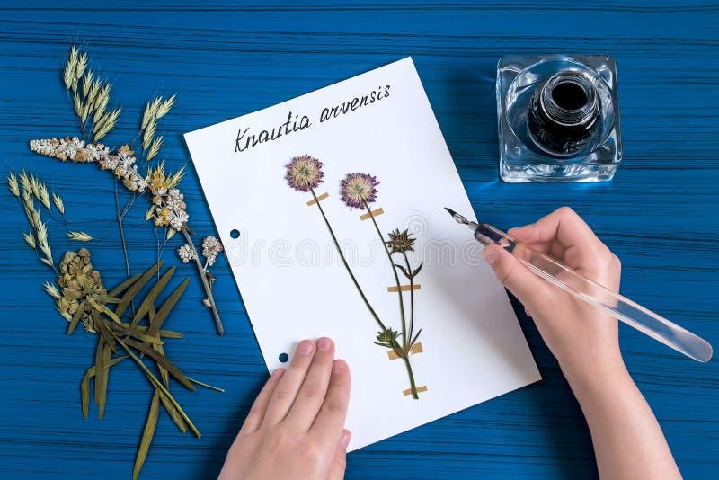 La fille fait l'herbier de l'arvensis de Knautia d'herbes, connu sous le nom de champ photographie stock libre de droits