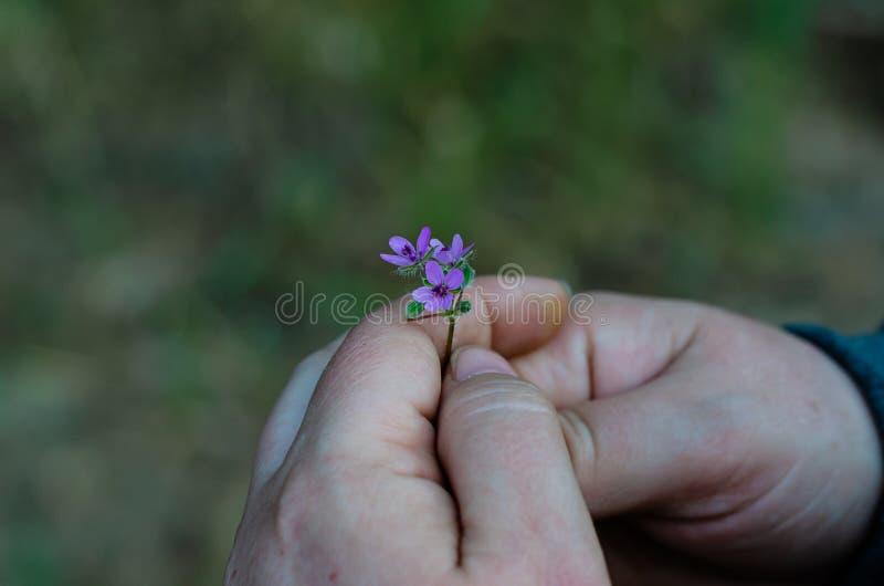 La fille tient les fleurs sauvages lilas miniatures Macro Foyer s?lectif photo libre de droits