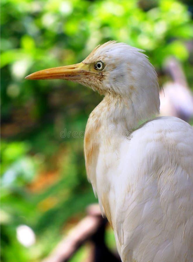 La fin d'ibisin de Bubulcus de héron de bétail  image stock