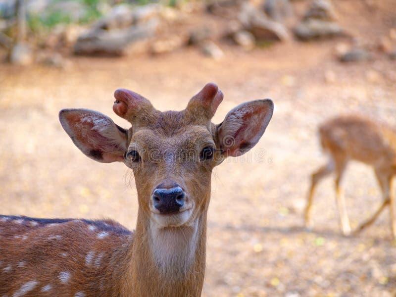 La fin de cerfs communs de visage ont la petite fourrure de brun de klaxon avec avec le point et les beaux yeux arrières avec le  photos stock
