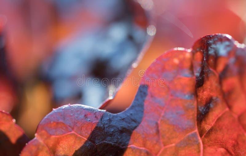 La fin de la chicorée rouge fraîche de radicchio part dans le jardin du cru au soleil photos stock