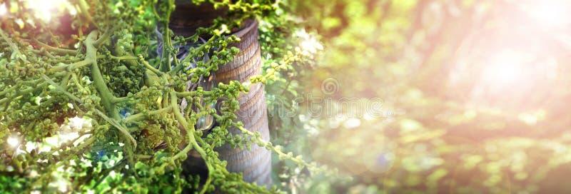 La fin de photo de fond de fruit de queue de renard de paume sur l'arbre a la copie s photos stock