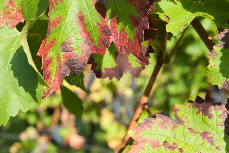 La fin de la vigne rouge part en automne photos libres de droits