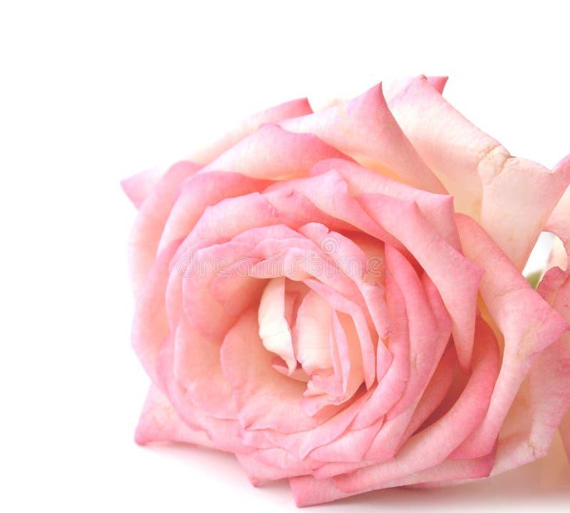 La fin de vue de face d'un rose a monté photo stock