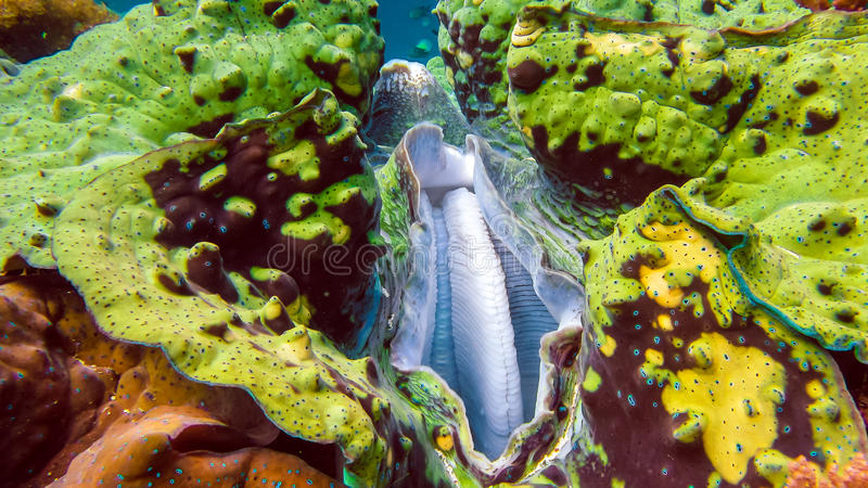 La fin des gigas colorés de Tridacna de palourde géante grandit dans le bas-fond Raja Ampat, Indonésie photos stock