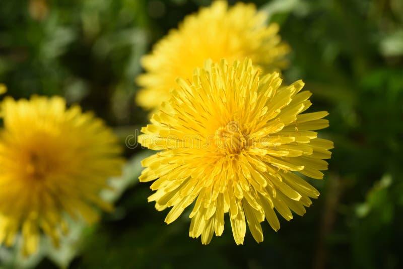La fin des pissenlits jaunes de marguerite grandissent sur le champ image stock