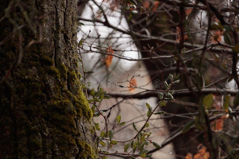 La fin du chêne vivant de côte part et tronc avec de la mousse verte, chêne à feuilles persistantes côtier dans la forêt avec photos libres de droits
