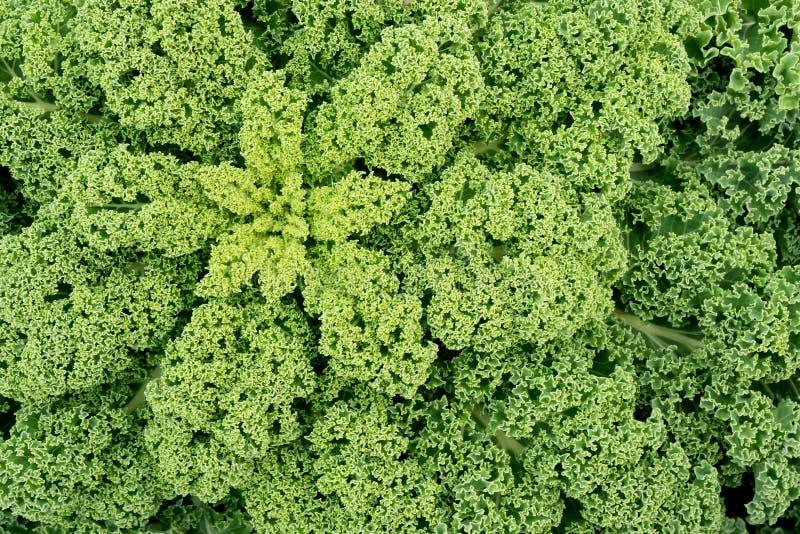 La fin du chou frisé organique vert sain part photographie stock