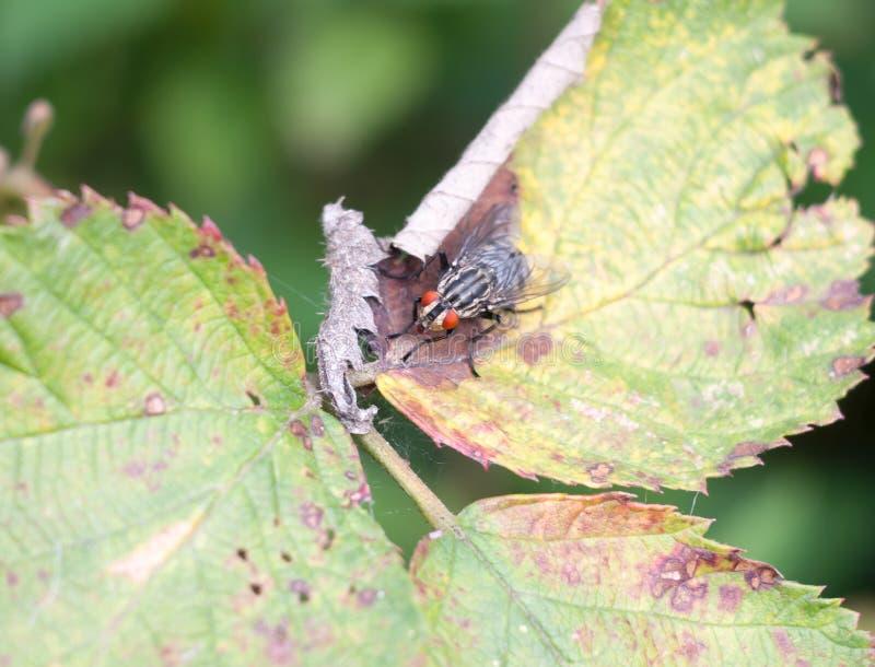 La fin du rouge observe la mouche de chair laide sur le carnaria de Sarcophaga de feuille photos stock