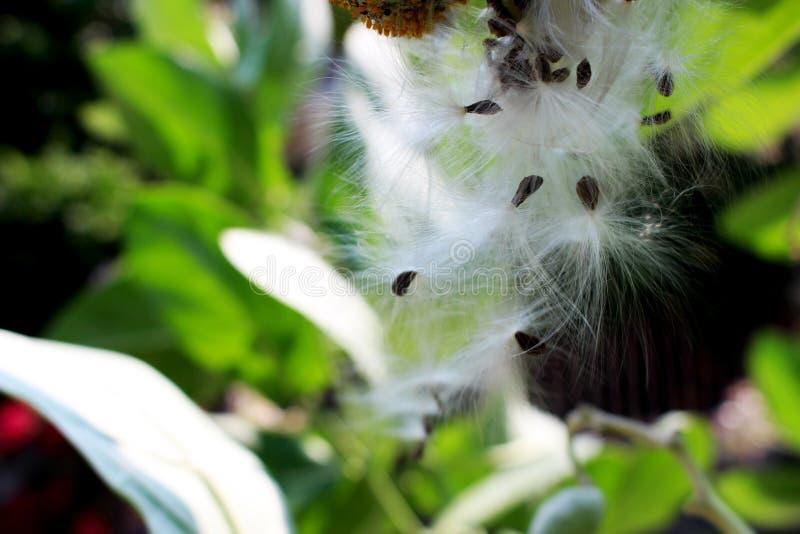 La fin en hausse de belles graines pourpres de gigantea de Calotropis est un genre des usines fleurissantes dans la famille d'apo images stock