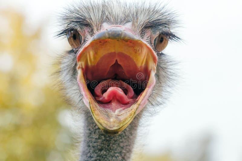 La fin fâchée d'autruche vers le haut du portrait, se ferment vers le haut du camelus de Struthio de tête d'autruche photos libres de droits