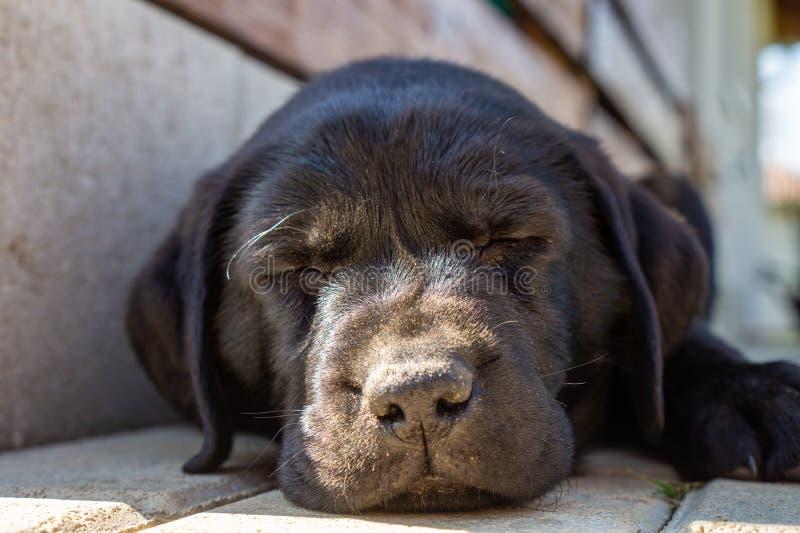 La fin noire a étendu la fin de visage de chiot de sommeil labrador retriever avec la lumière du soleil sur son nez photos libres de droits