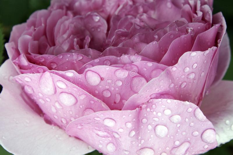 La fin rose de macro de pivoine pourpre rose avec de l'eau grand chute sur le fond vert photo libre de droits