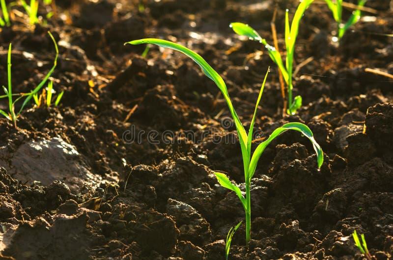 la fin vers le haut de la jeune jeune plante de maïs vert se développe avec le soleil images stock