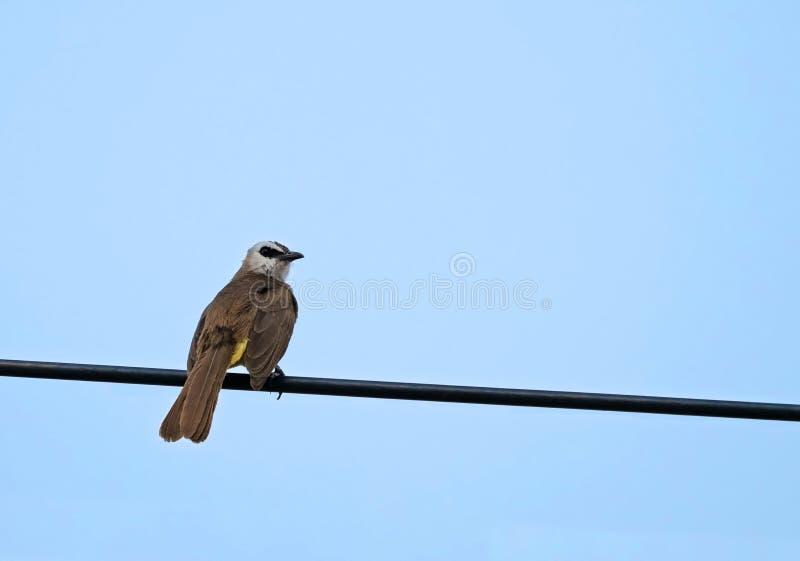 La fin vers le haut de l'oiseau Jaune-exhalé de Bulbul était perché sur un fil de câble d'isolement sur le ciel bleu images stock