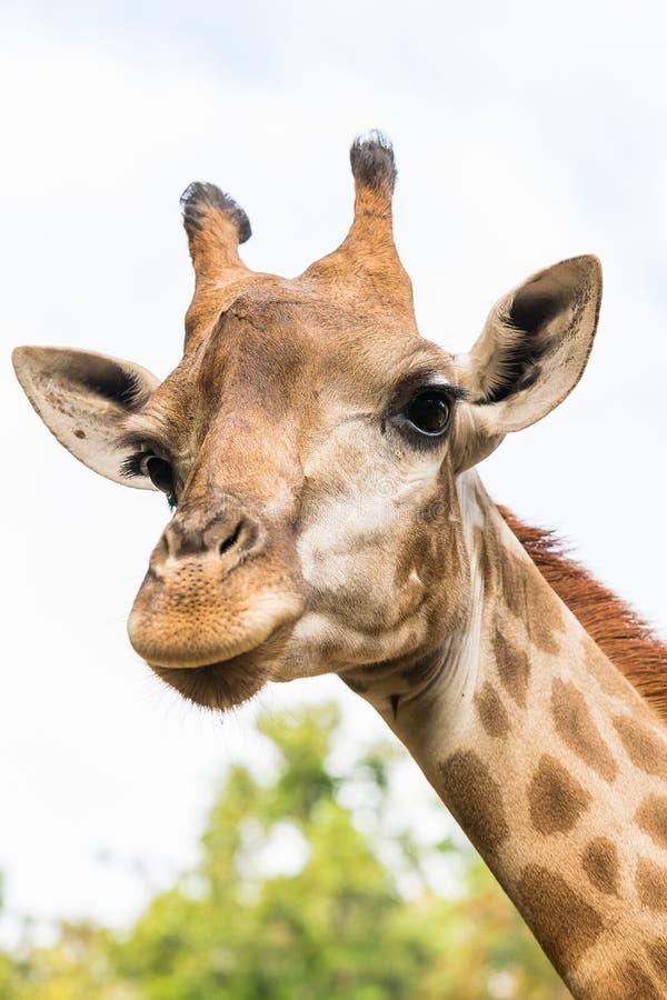 La fin vers le haut de la photo de la tête de girafe images libres de droits