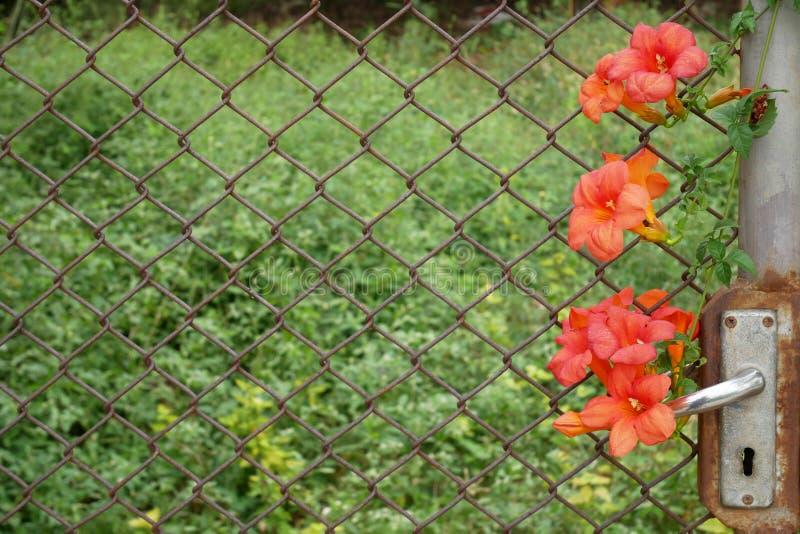 la fin vers le haut de la vieille porte et la cage ont la fleur orange photos stock