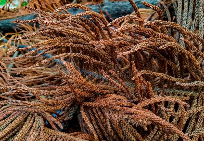 La fin vers le haut de la vue du brun a séché des feuilles d'arbre de Noël de sapin de fraser Texture abstraite de configuration photo libre de droits