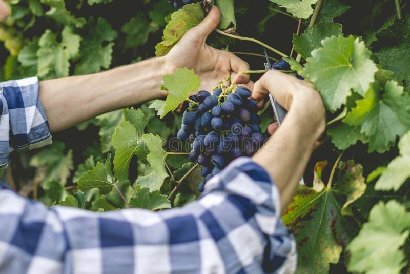 La fin vers le haut des mains masculines de jardinier sélectionnent des fruits en serre chaude photos libres de droits