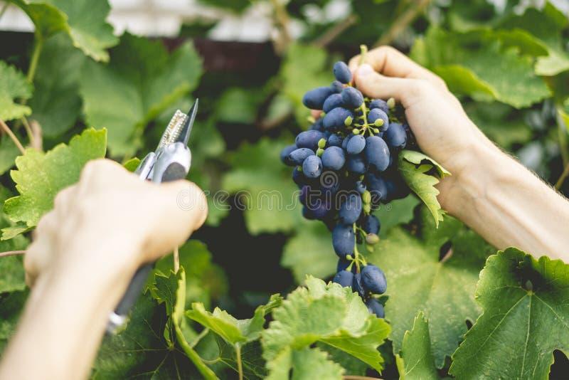La fin vers le haut des mains masculines de jardinier sélectionnent des fruits en serre chaude photos stock
