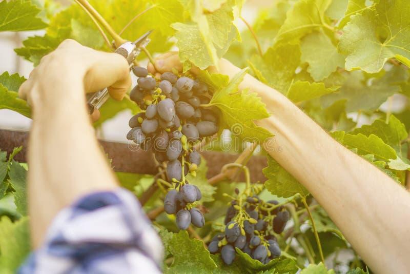 La fin vers le haut des mains masculines de jardinier sélectionnent des fruits en serre chaude images libres de droits