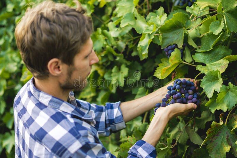 La fin vers le haut des mains masculines de jardinier sélectionnent des fruits en serre chaude image stock