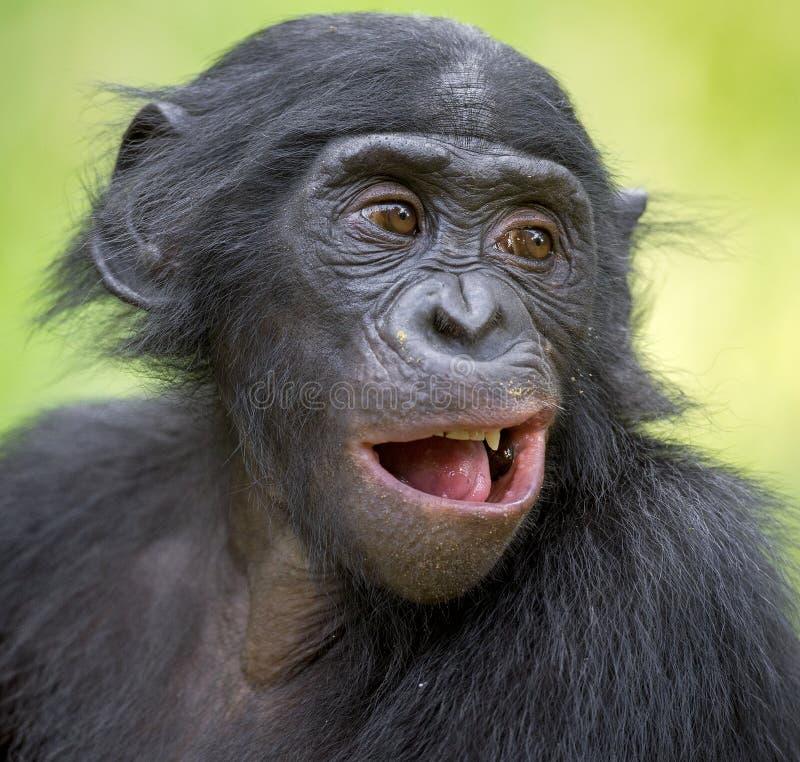 La fin vers le haut du portrait du bonobo (Pan Paniscus) sur le fond naturel vert photos stock