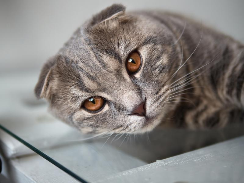 La fin vers le haut du portrait du jeune chat magnifique de pli d'écossais s'étend sur la table photo stock
