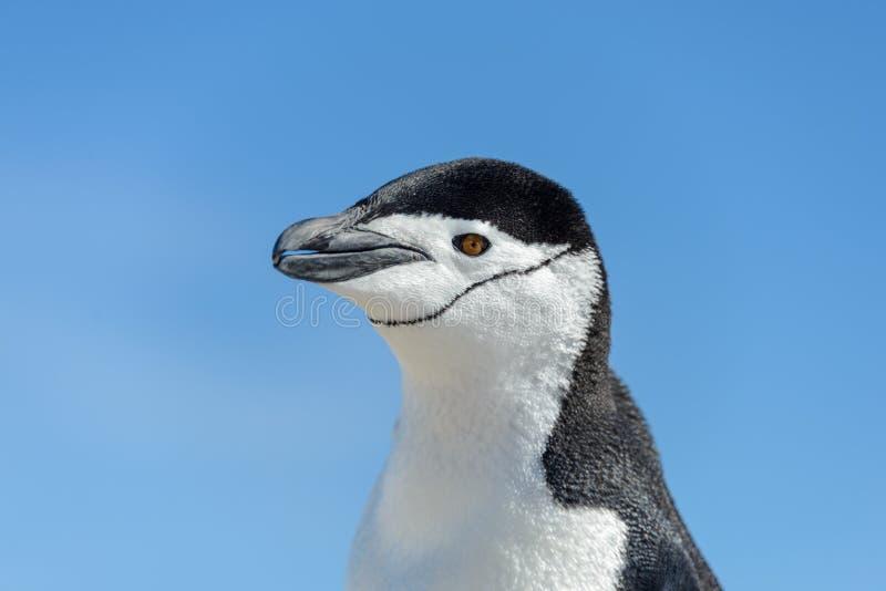 La fine capa del pinguino di sottogola su fotografia stock libera da diritti