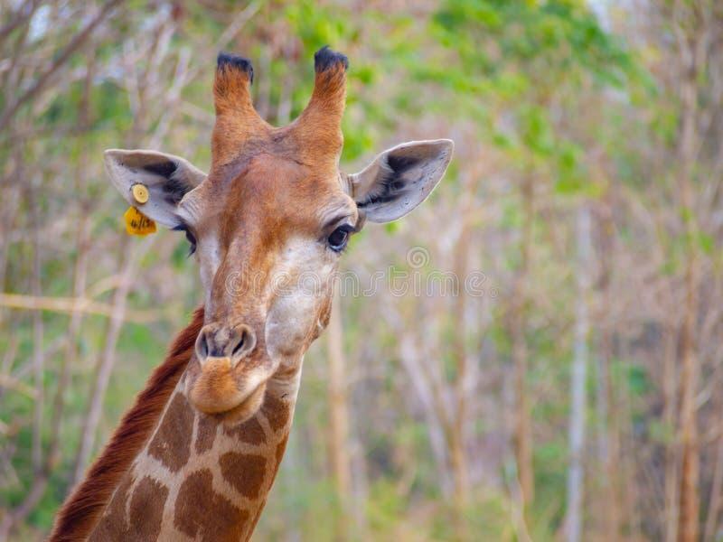 La fine capa della giraffa del fronte su ha etichetta gialla che loro l'orecchio può vedere la bella pelliccia di struttura del m fotografia stock