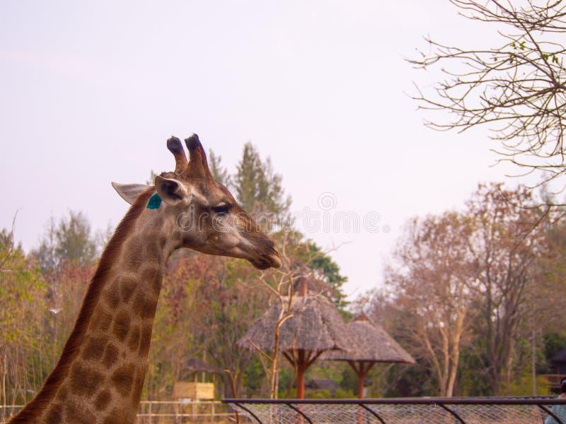 La fine capa laterale della giraffa su in zoo ha etichetta che loro l'orecchio può vedere la bella pelliccia di struttura del mod immagine stock libera da diritti