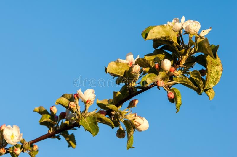 la fine del fiore della mela fiorisce l'albero in su fotografia stock