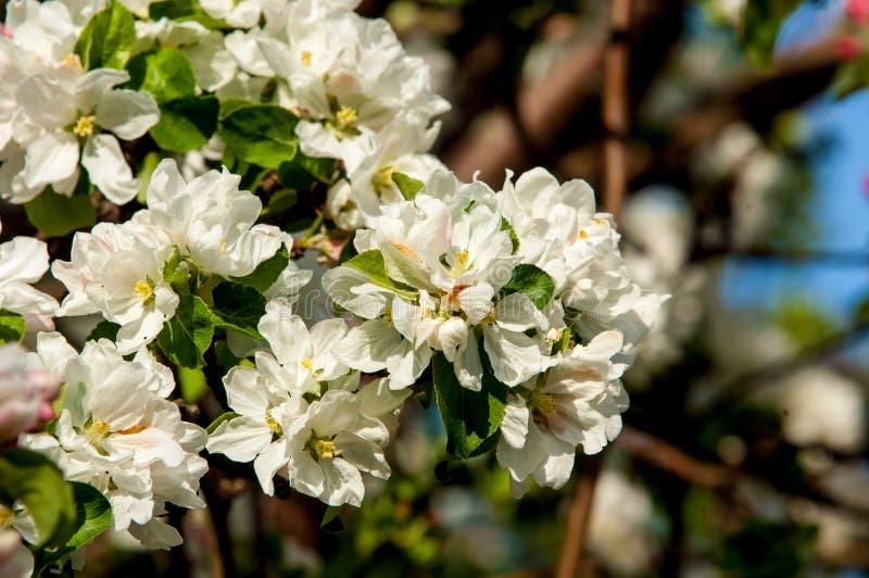 la fine del fiore della mela fiorisce l'albero in su immagini stock