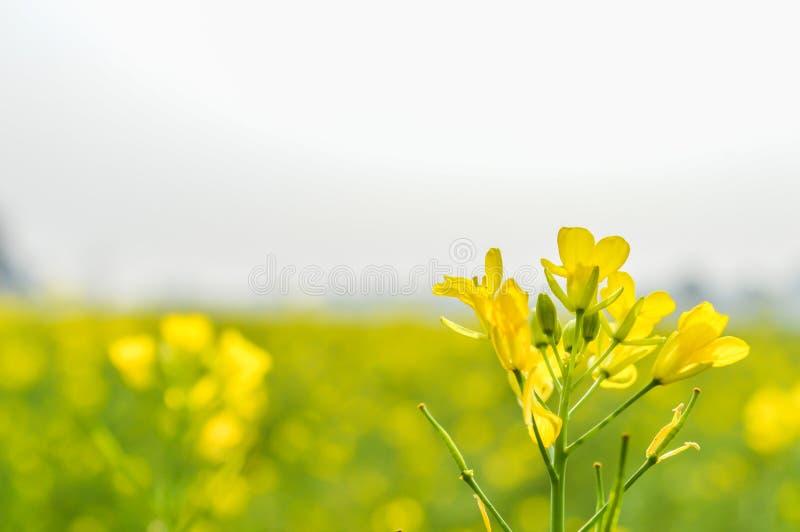 La fine del fiore del seme di ravizzone su su fondo vago e sui suoi petali splendidi ha catturato da un campo soleggiato del giar fotografia stock libera da diritti