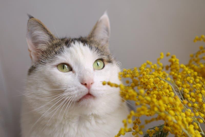 La fine divertente sveglia del gatto sul ritratto con mimose fiorisce immagine stock libera da diritti