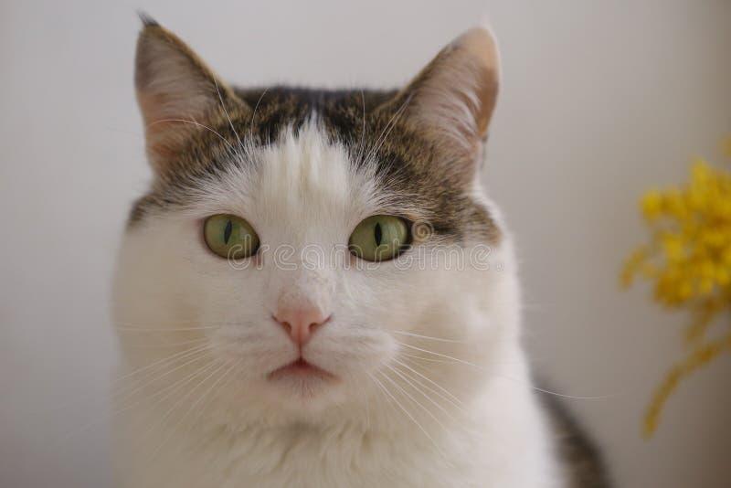 La fine divertente sveglia del gatto sul ritratto con mimose fiorisce immagini stock libere da diritti