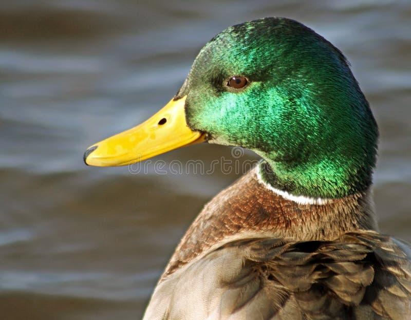 La fine su di un maschio dell'anatra di Mallard con il suo verde distintivo ha messo le piume al becco capo e giallo immagine stock libera da diritti