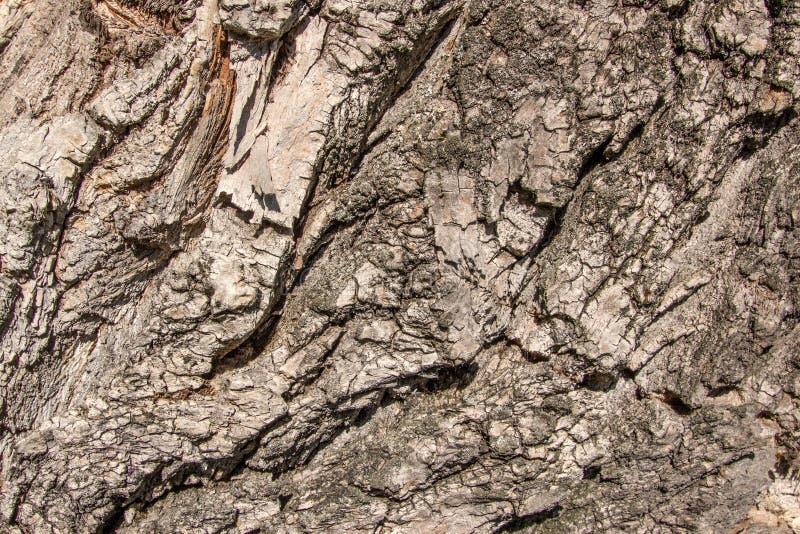 La fine su ha invecchiato l'annata di legno b del vecchio dell'albero dell'olmo pioppo incrinato di ulmus fotografie stock libere da diritti