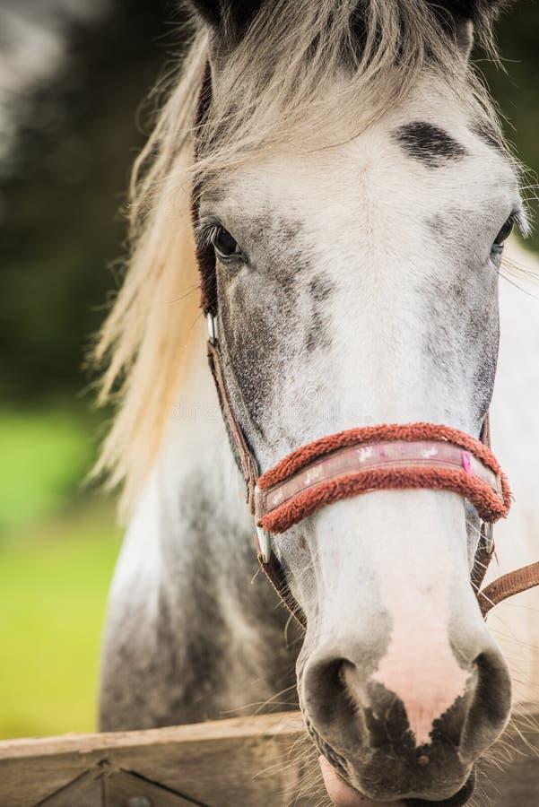 La fine su ha sparato di un cavallo bianco con una criniera immagini stock
