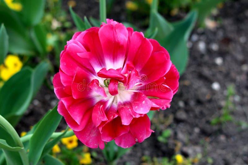 La fioritura completamente aperta ha messo a strati il fiore rosso del tulipano circondato con le foglie verdi in giardino locale immagine stock