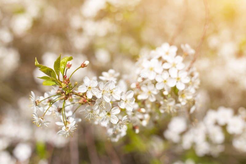 La fioritura della primavera, sboccia al sole primo piano, backgroud astratto vago del bokeh della natura fotografia stock