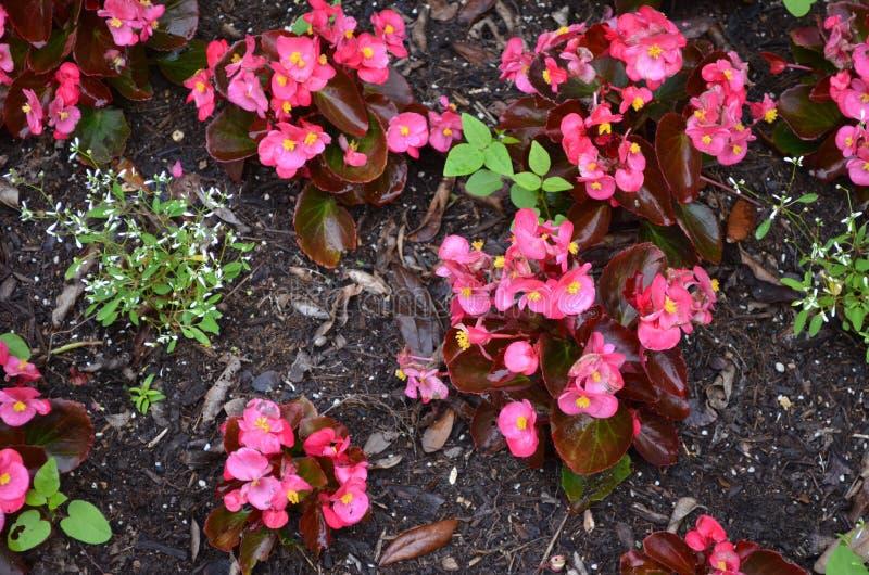 la fioritura fiorisce il colore rosa fotografie stock