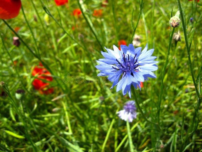 La fioritura tenera del centaurea cyanus del fiordaliso e i rhoeas rossi del papavero del papavero fioriscono nel giorno soleggia fotografia stock