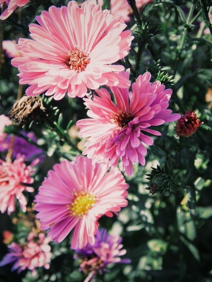 La fleur, abeille, pourpre, a flairé, rose photo stock